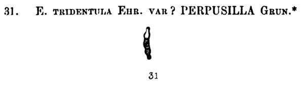 Eunotia tridentula var. perpusilla orig illus