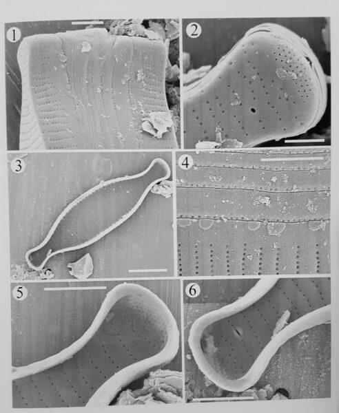 Fragilaria marylandica orig illus 2