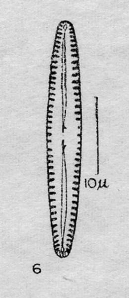 Gomphonema apuncto orig illus