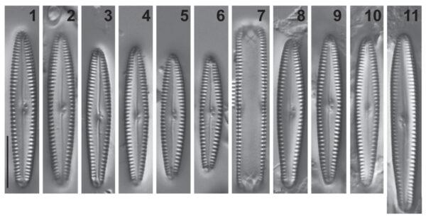 Gomphonema caperatum orig illus 1