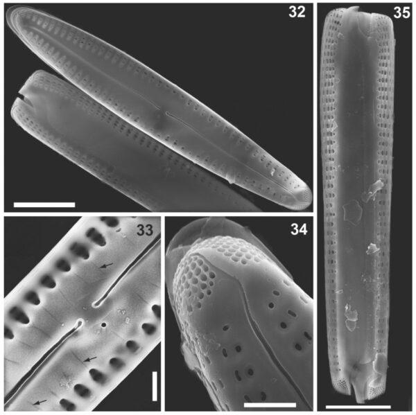 Gomphonema caperatum orig illus 2