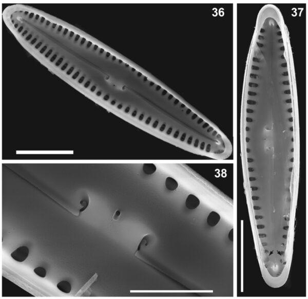 Gomphonema caperatum orig illus 3