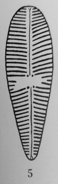 Gomphonema olivaceoides var. densestriata orig illus