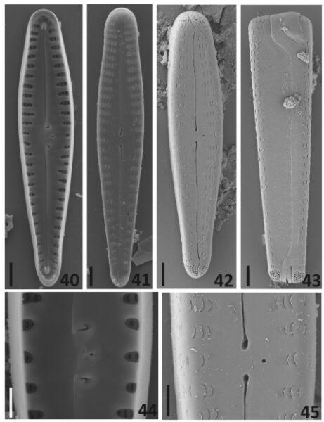 G Sierrianum Orig Desc Plate2
