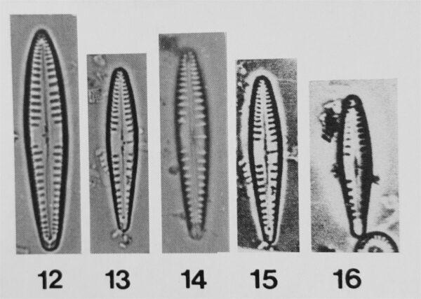Gomphonema variostriatum orig illus