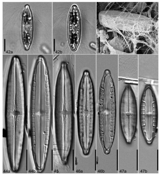 M Calcarea Orig Desc Plate1