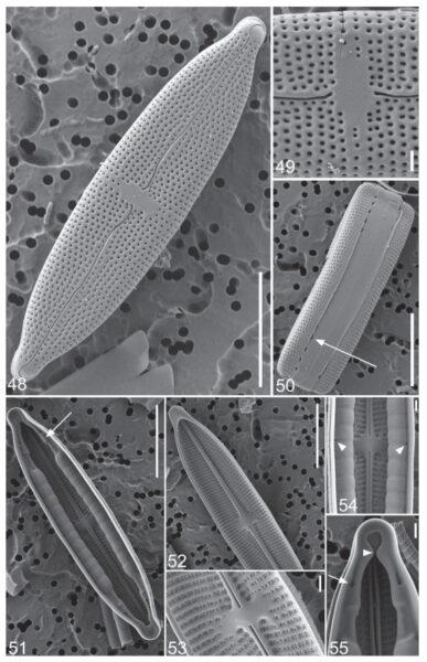 M Calcarea Orig Desc Plate2