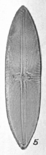 Navicula Mobiliensis Orig Desc Plate