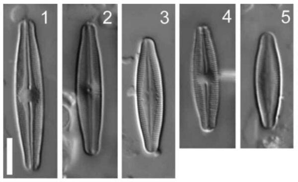 Nupela Elegantula Orig Plate Lm
