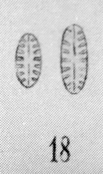 Pinnularia Balfouriana Orig Desc Plate