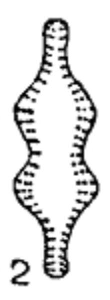 Pseudostaurosira Robusta  Fusey  Image 1951