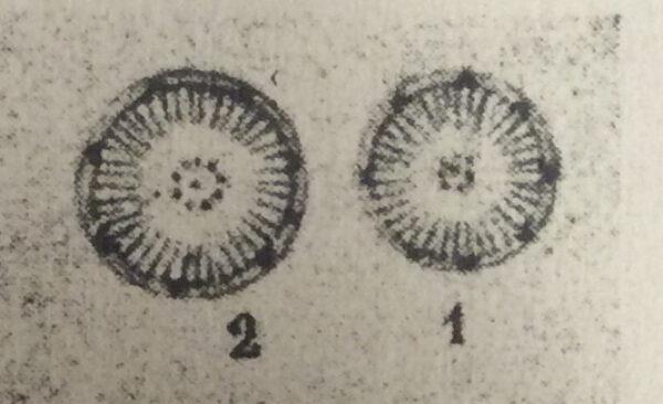 Pseudostelligera Pic