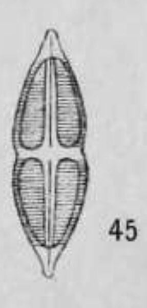 Stauroneis Smithii Var Incisa Orig Desc Plate