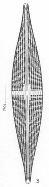 Stauroneis Staurolineata Orig Illus