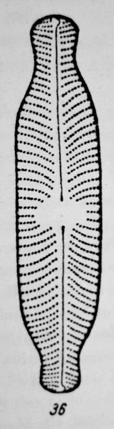Navicula Abiskoensis Orig Desc Plate