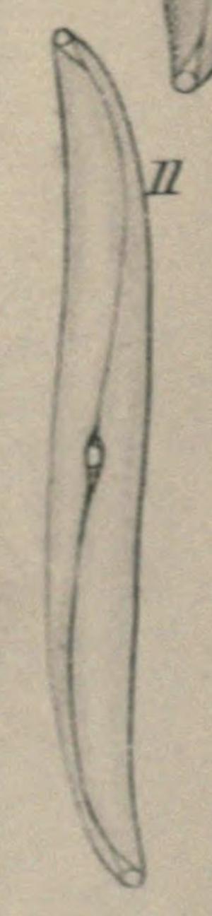 Pleurosigma Obscurum Orig Fig