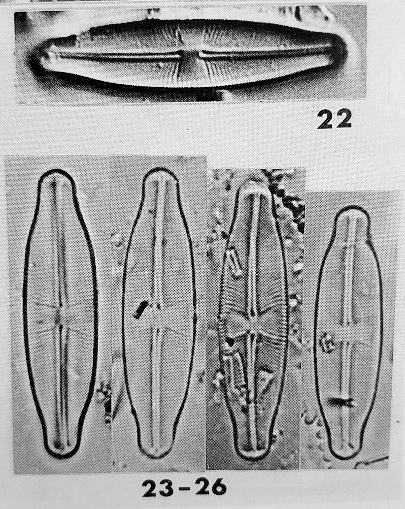Sellaphora Stauroneioides Orig Desc Plate