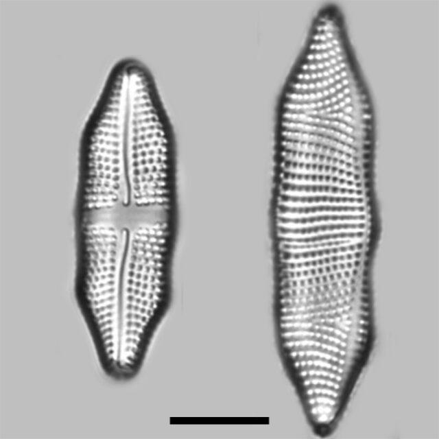 Achnanthes Felinophila Iconic