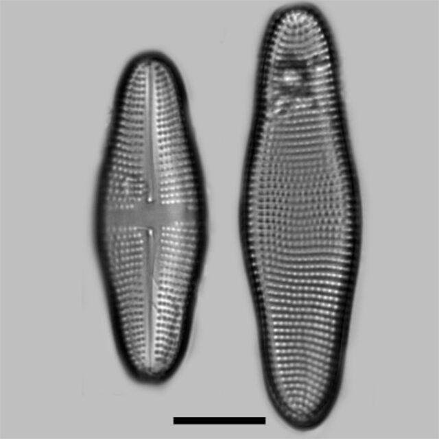 Achnanthes Longboardia Iconic