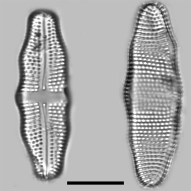 Achnanthes Undulorostrata Iconic