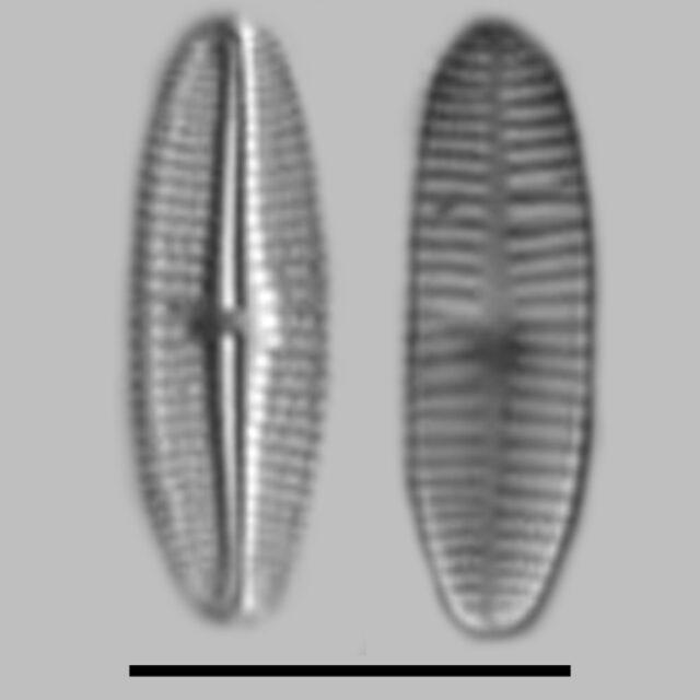 Achnanthidium Deflexum Aac
