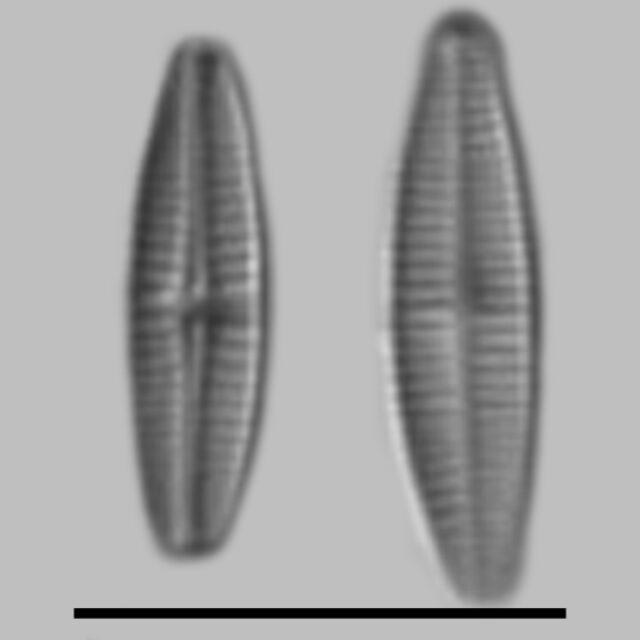 Achnanthidium Pyrenaicum Aac