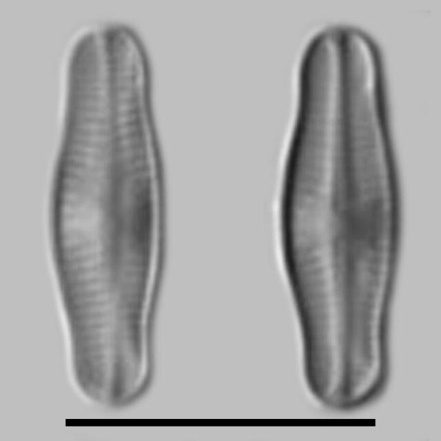 Achnanthidium Reimeri Aac