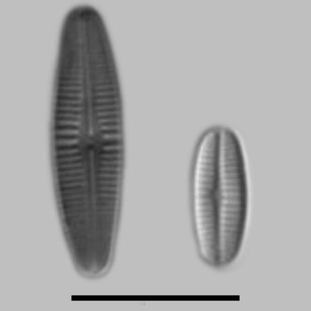 Achnanthidium Rivulare Aac