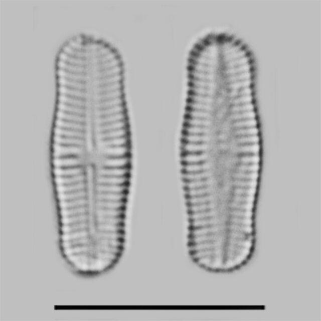 Achnanthidium Rosenstockii Iconic