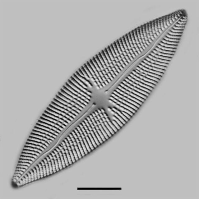 Aneumastus Carolinianus Iconic