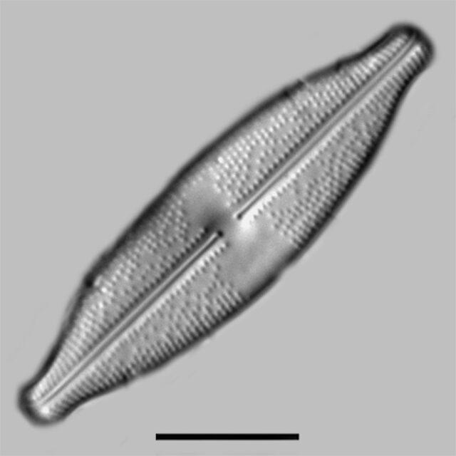 Anomoeoneis Monoensis Iconic