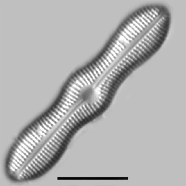 Boreozonacola Hustedtii Iconic