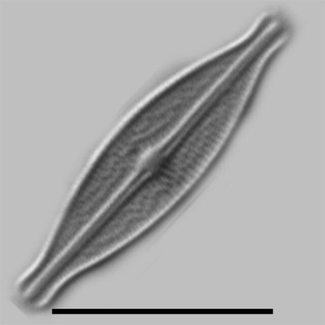 Brachysira Microcephala Iconic