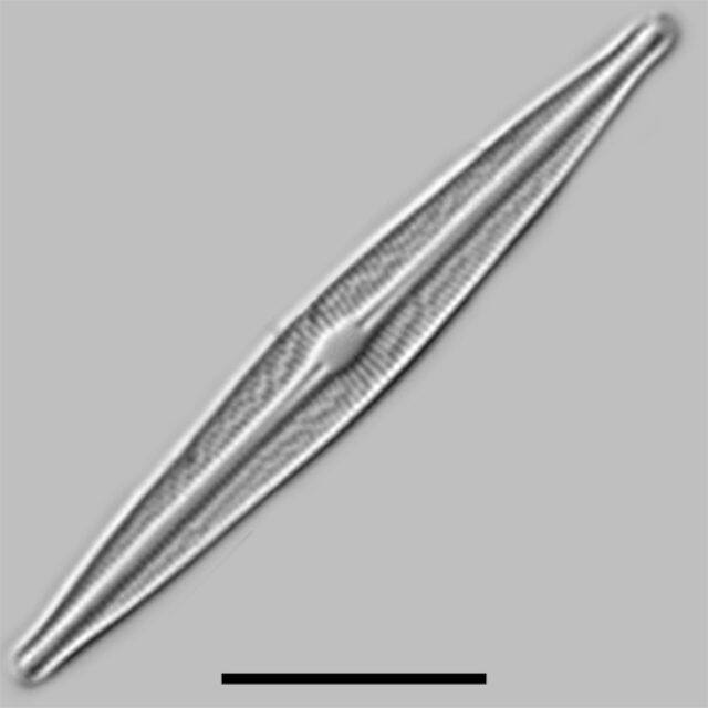 Brachysira Ocalensis Iconic
