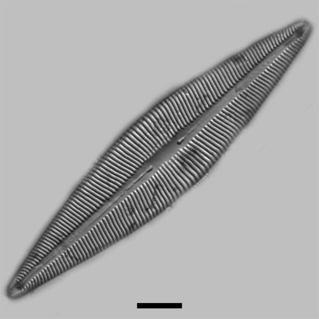 Brebissonia Lanceolata Iconic