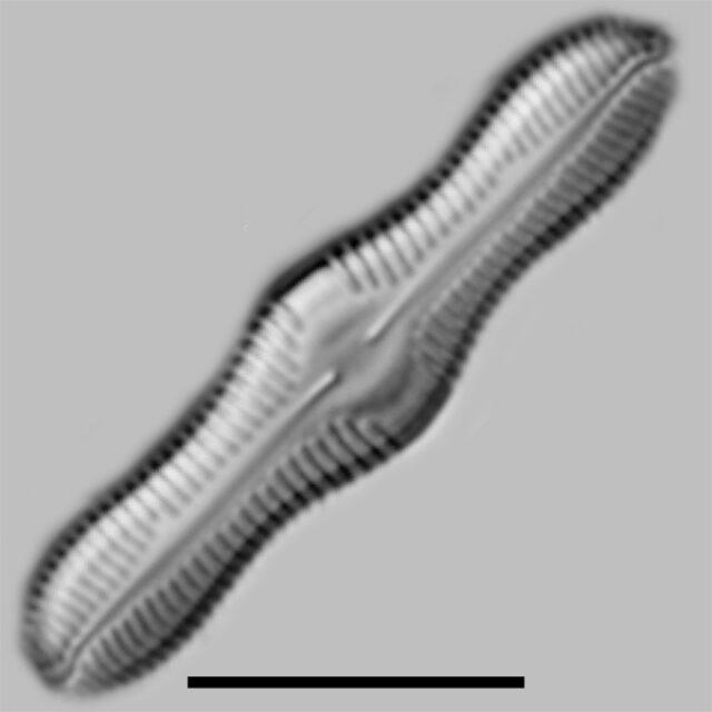 Caloneis Silica Iconic
