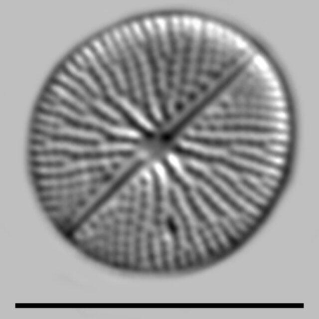 Cavinula Pseudoscutiformis Iconic