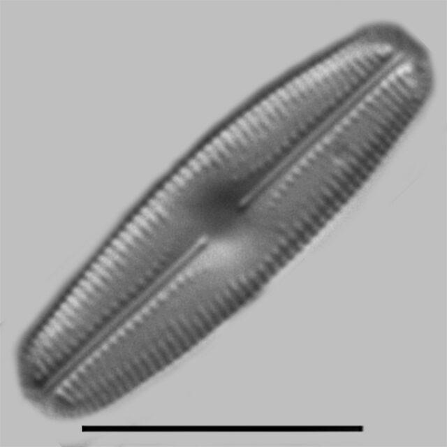 Chamaepinnularia witkowskii iconic