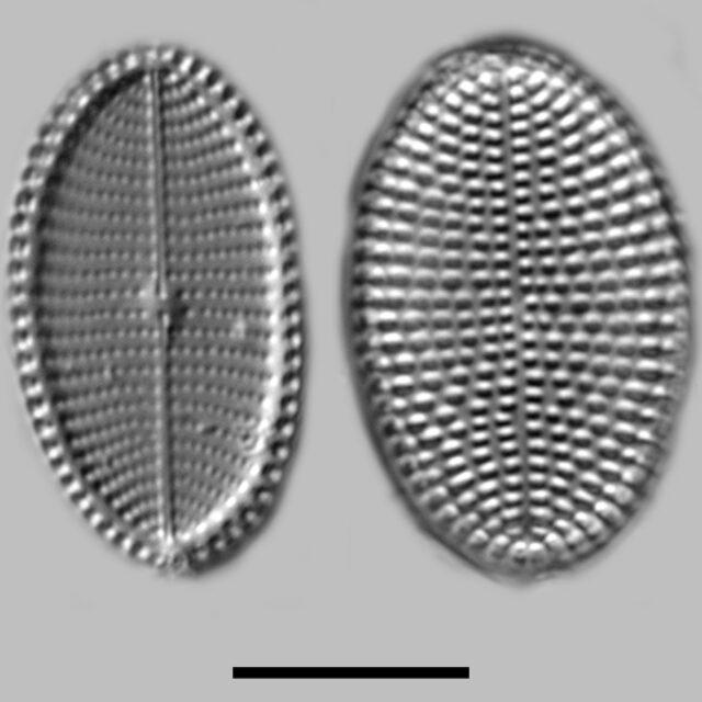 Cocconeis Fluviatilis Iconic