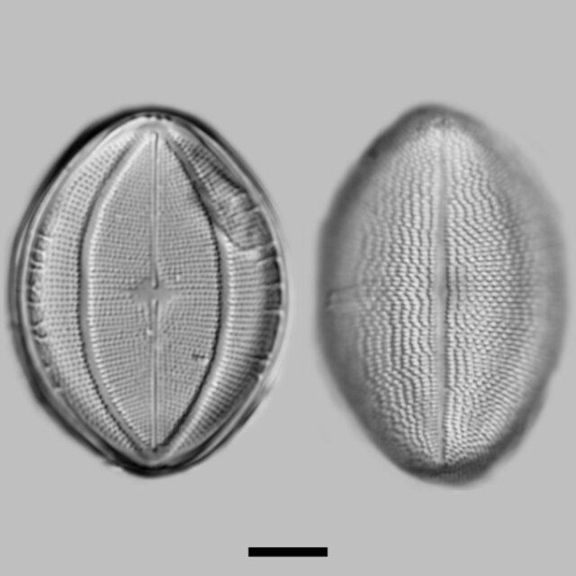 Cocconeis Klamathensis Iconic