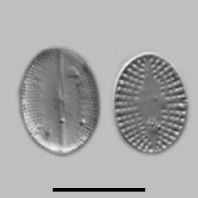 Cocconeis Pseudothumensis Aac