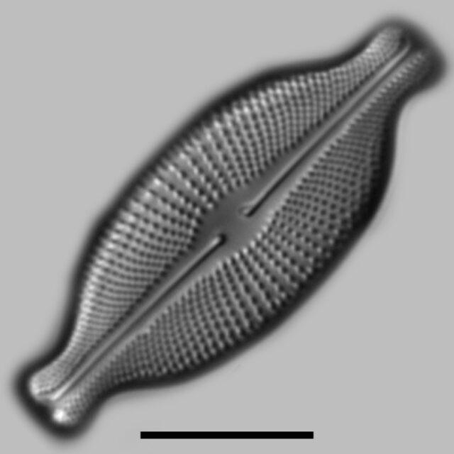 Cosmioneis Hawaiiensis Iconic