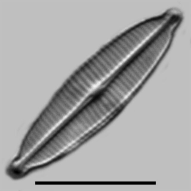 Craticula Accomoda Iconic