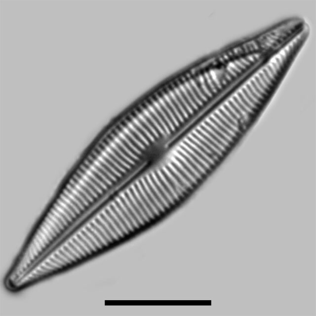 Craticula Halophila Iconic