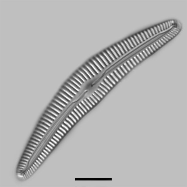 Cymbella Alpestris Iconic