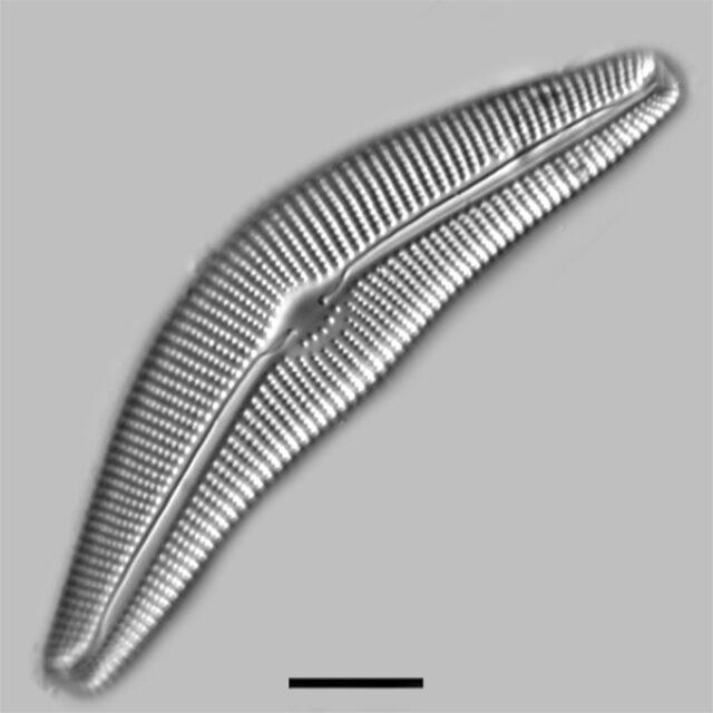 Cymbella Cistula Gibbosa Iconic