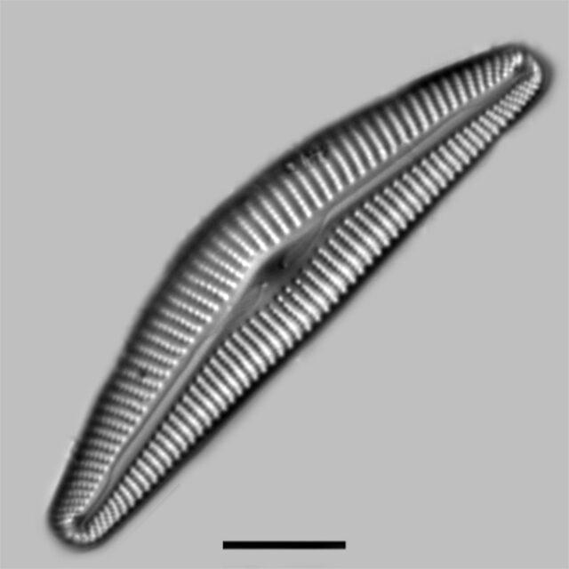 Cymbella Maggiana Iconic