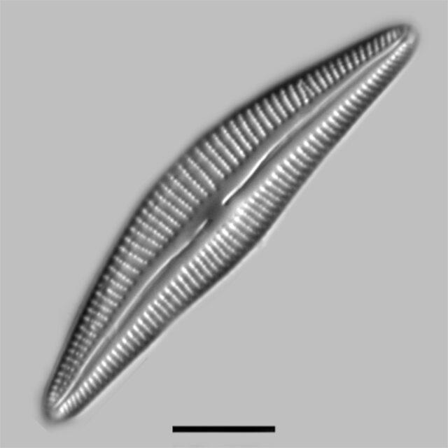 Cymbella Stigmaphora Iconic