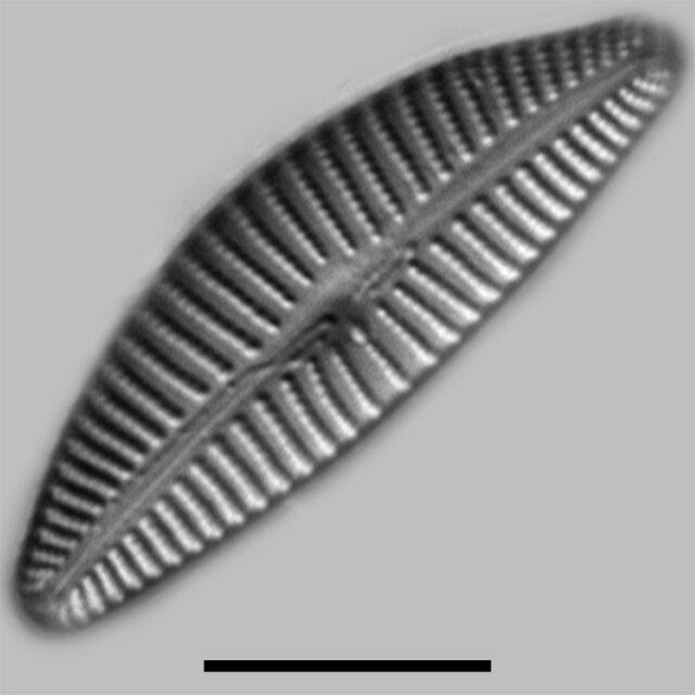 Cymbella Tropica Iconic