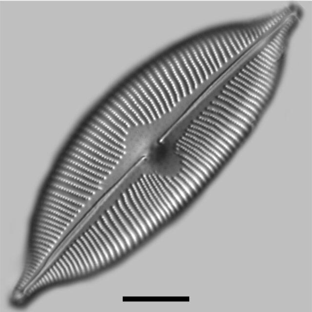 Cymbopleura Apiculata Iconic
